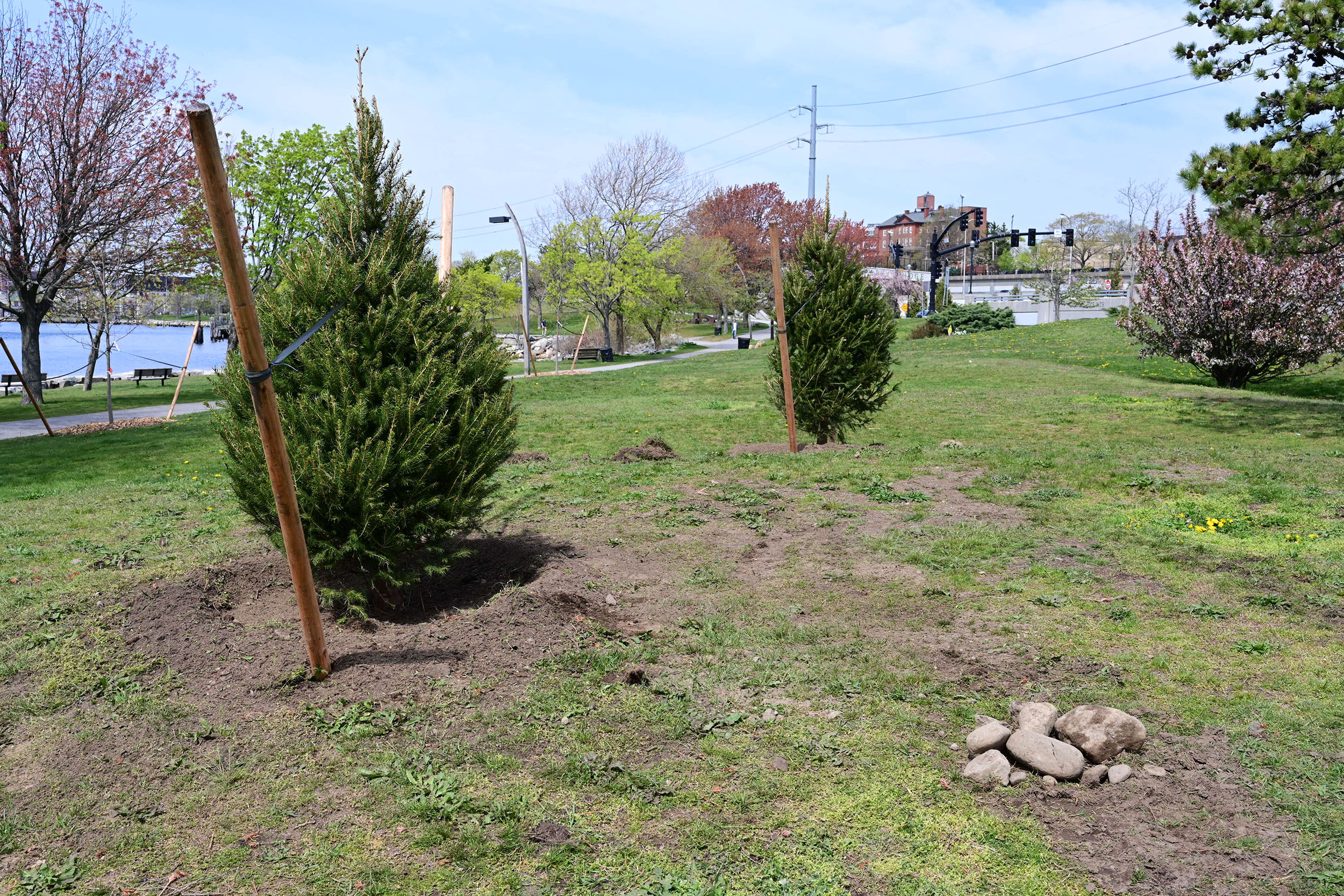 New trees planted in the park !